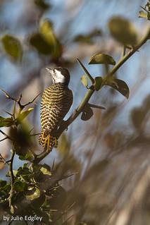 Female bearded woodpecker