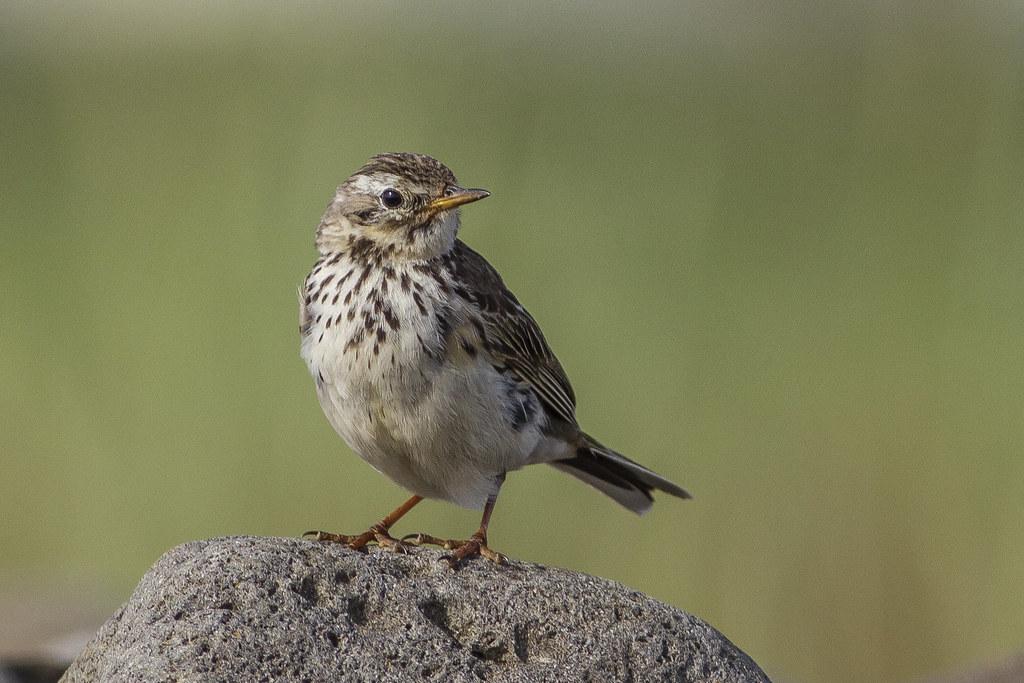Þúfutittlingur / Meadow Pipit