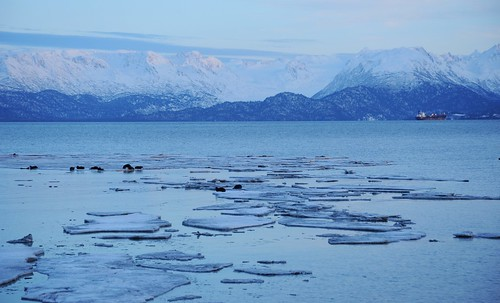 Winter seals hanging out on small chunks of ice near the Homer Spit, Kenai Mountain Range in the distance, glacier, ship, Homer, Alaska, USA by Wonderlane