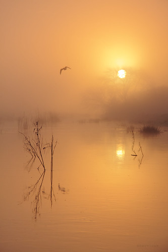 morning mist reflection bird reed water beauty silhouette fog sunrise river gold mood flight dream straw devon exeter silence transition dreamlike goldenhour exe flodding