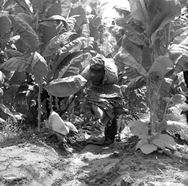 Unidentified worker harvesting shade tobacco in Quincy, Florida