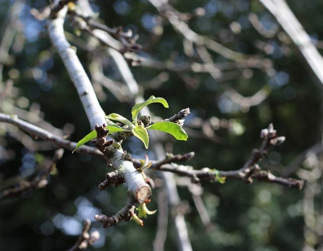 first apple leaves of spring