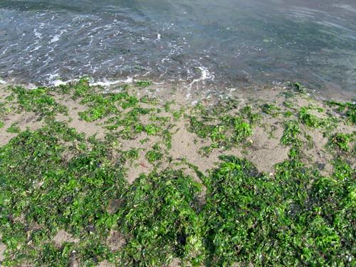 Seaweed by Coyoty