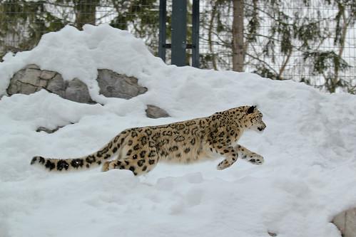 ユキヒョウ (Snow Leopard)