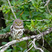 Small photo of African Barred Owlet (Glaucidium capense)