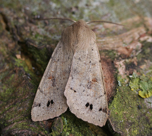 Twin-spotted Quaker Orthosia munda Tophill Low NR, East Yorkshire March 2014