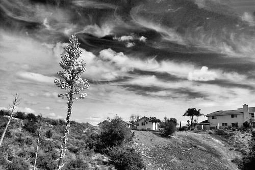 california blackandwhite nature digital landscape photo spring afternoon wildflower yucca redfilter spanishdagger ourlordscandle chaparralyucca portolahills whtingranchwildernesspark vultureviewtrail