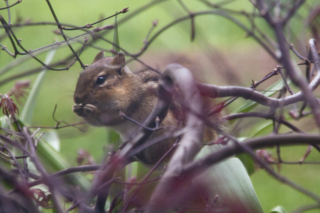Chipmunk in Japanese Maple