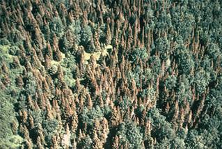 Spruce budworm 1