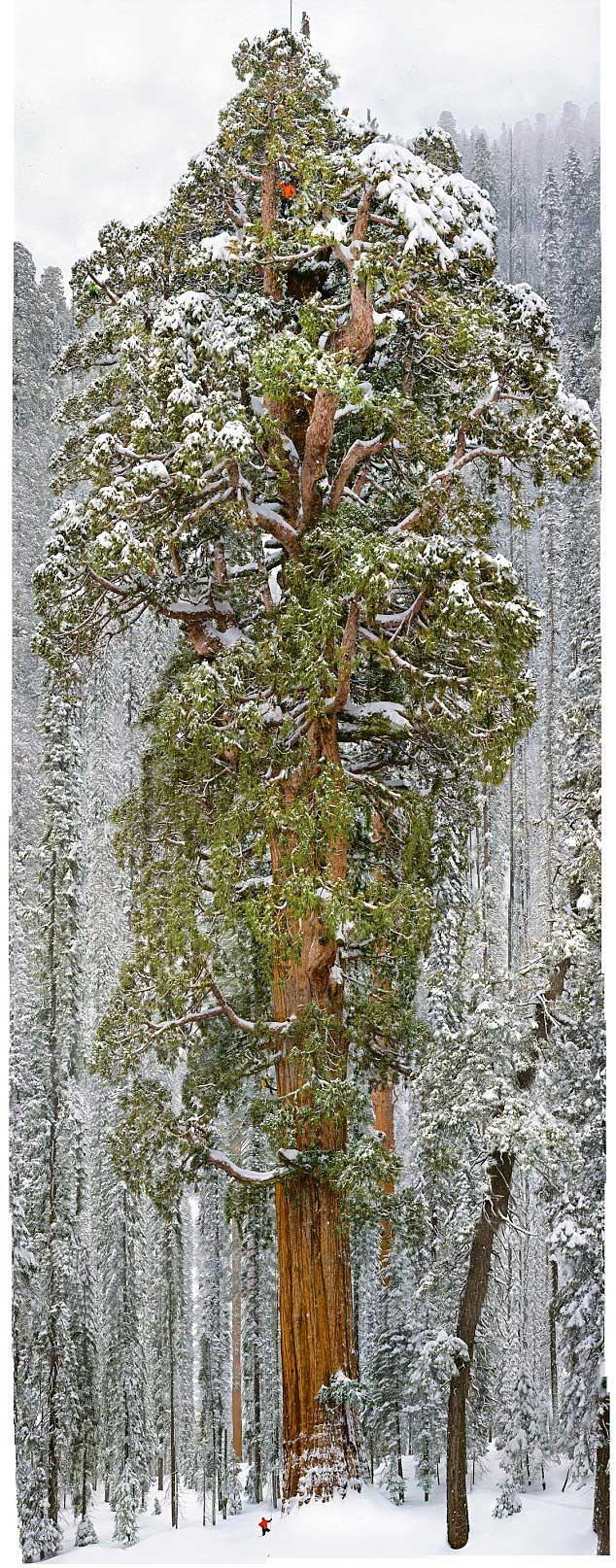 Gigantesco árbol de 3200 años capturado en una sola imagen. Impresionante! 13999347898_95bc96f0ca_o