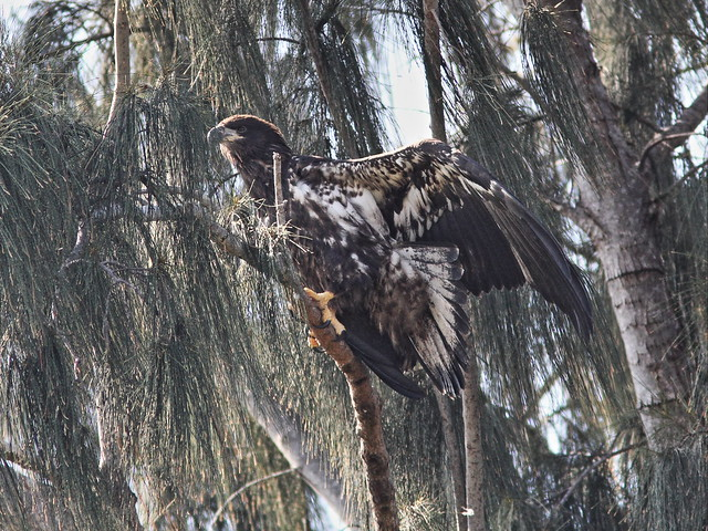 Bald Eaglet roosting 3-20140426