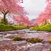 Dollar Cherry Blossom