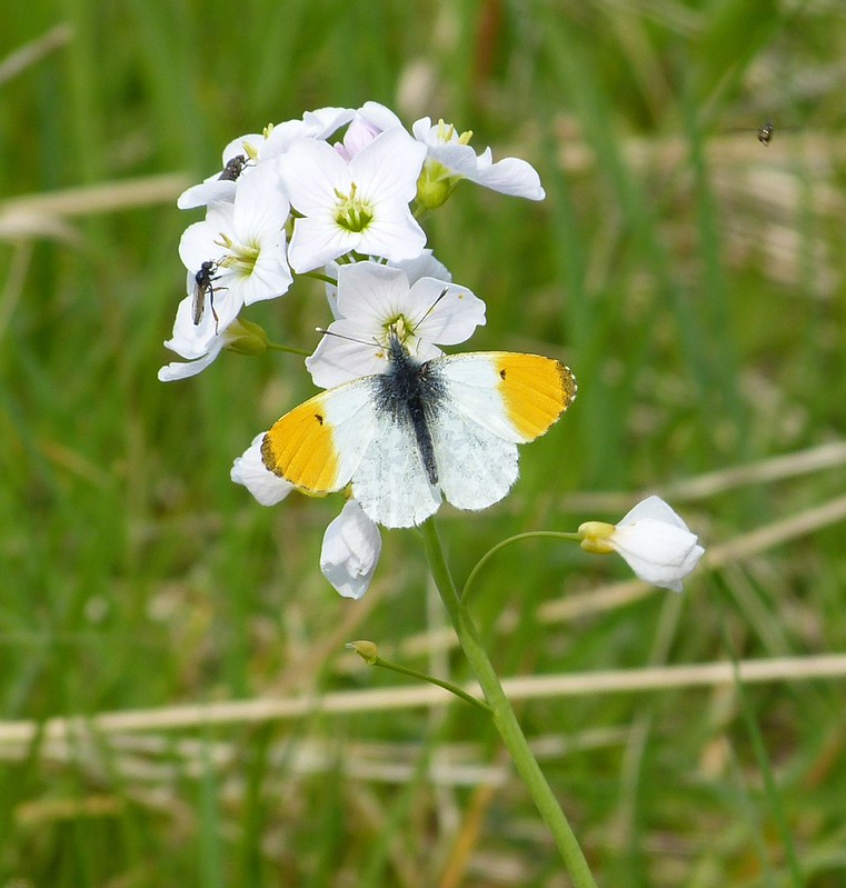 P1070637 - Orange-tip, Rutland Water