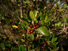 evergreen, branch, leaf, tree, plant, nature, flora, green, fruit, aquifoliaceae, aquifoliales, lingonberry,