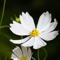 La fleur blanche de cosmos
