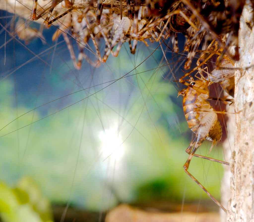 Cave Cricket (Ceuthophilus gracilipes)_1
