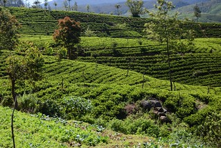 Sri Lanka.  De Nanu Oya a Ella.