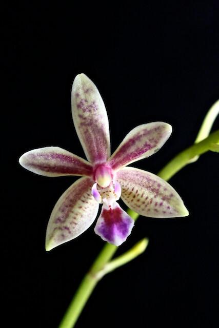Phalaenopsis Linda cheok 16284944449_2827f7a400_z