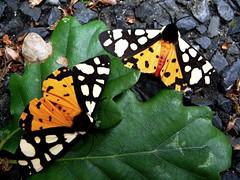 Ecaille fermère - Cream-spot tiger