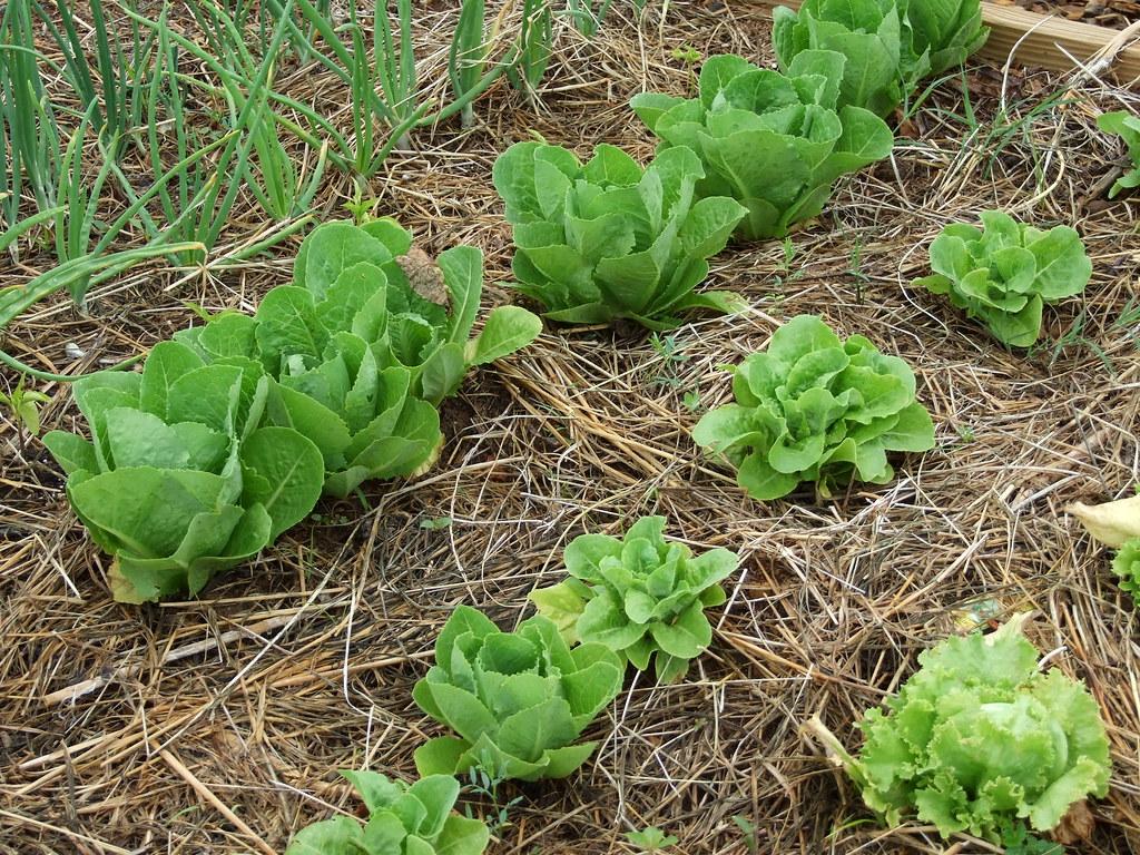 Lettuce-Donna Teasley-CC-BY-SA.jpg