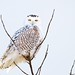 Snowy Owl Perch by imageClear