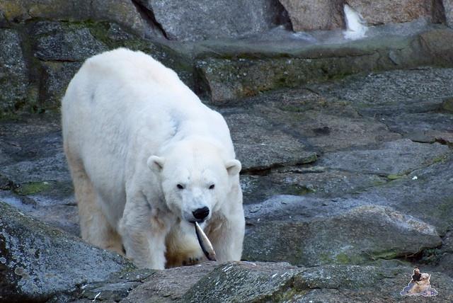 Zoo Berlin Orang Utan Rieke 08.02.2015 26