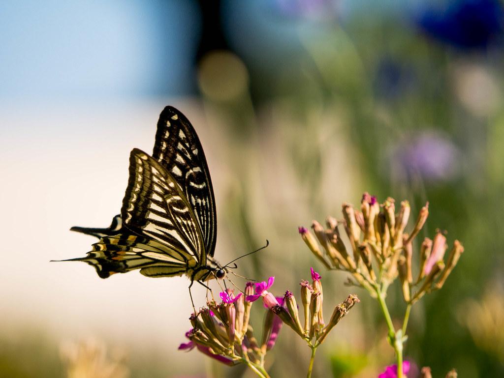 花の蜜を吸うアゲハチョウ