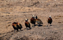 White-face Whistling Ducks