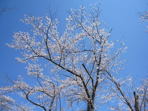 青空に映える桜(聖光寺) by Poran111