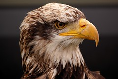 Eagle - Abingdon 2013