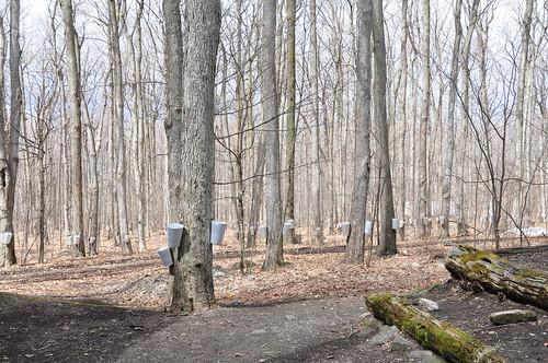 canada montagne maple québec april syrup avril printemps cabane rigaud sucre sirop sucrerie érablière