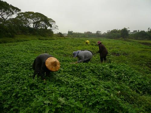 冬季在廢耕地採集tatukem(龍葵)。 (盧建銘 攝於新屋)