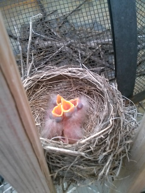 baby american robins days old