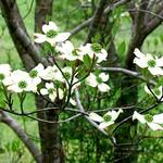 Green Season--Dogwood