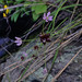 Small photo of Allium canadense - Wild Onion