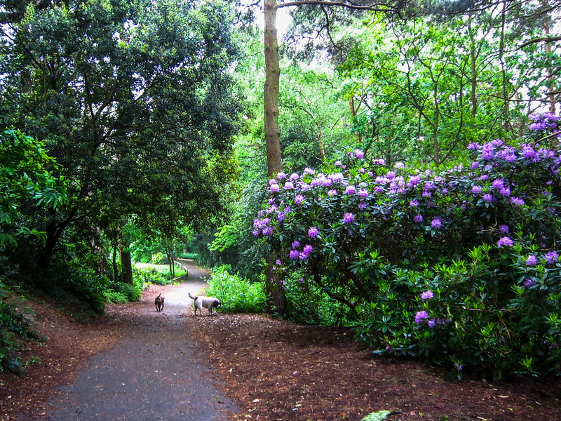 Rhododendrons at Broadstone Rec