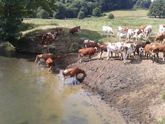 It's so hot even the cows are taking a dip.