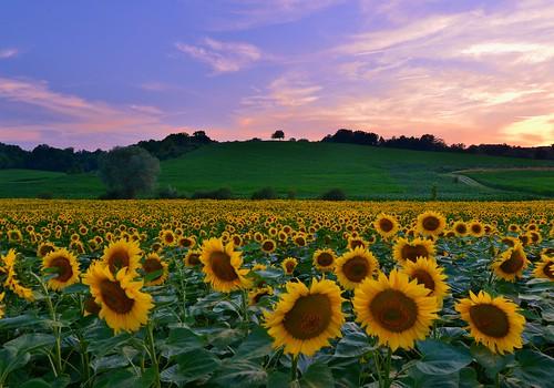 Sunflowerlicious