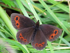 Scotch Argus - Erebia aethiops