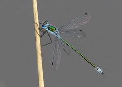 Emerald Damselfly - Lestes sponsa