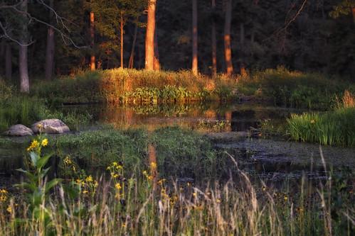trees light sunset nature water forest canon reeds dark illinois twilight pond woods shadows stones shade wildflowers enchantedforest chicagoist downersgrove 70200mmlens lymanwoods canoneosrebelt1i