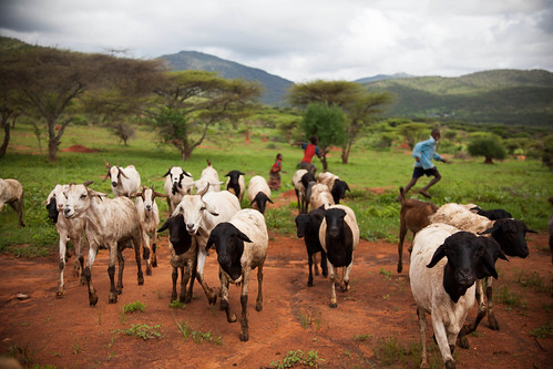 Borana sheep and goats