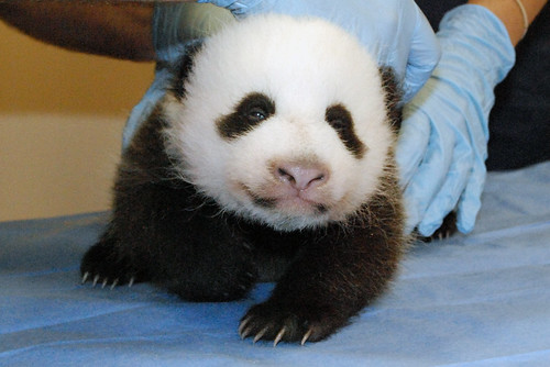 Oct. 17 Giant Panda Cub Update: Smithsonian's National Zoo