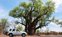 The Big Tree, Victoria Falls