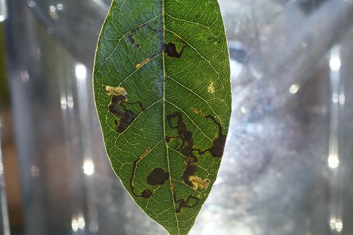 Ectoedemia  heringella mines on Quercus ilex