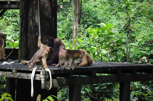 Pig tailed and long tailed macaques look for scraps