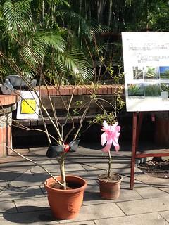 一公一母水社柳捐贈給台北市政府。
