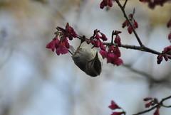 冠羽畫眉倒吊準備吸食花蜜(圖片來源:南投林管處)
