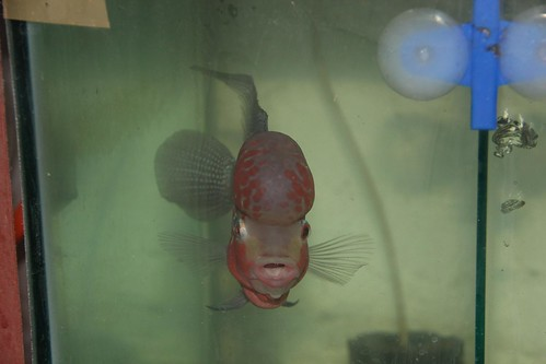 Marziyas Unique Imported Monkey Head Flowerhorn by firoze shakir photographerno1