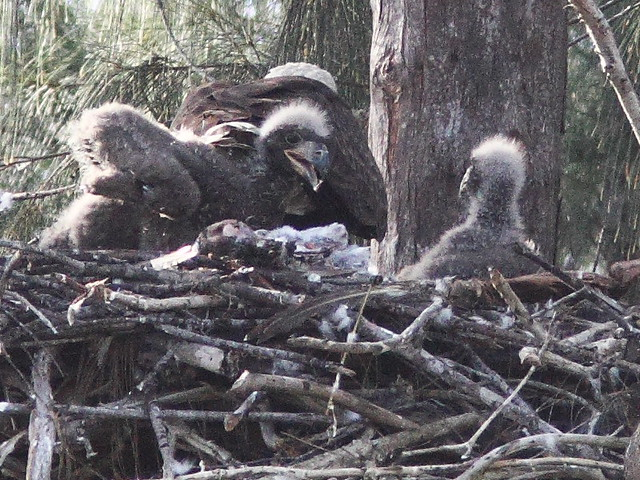 Bald Eaglets hostile confrontation1 20140205